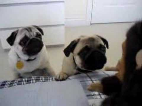 Pugs frightened by Monkey Video