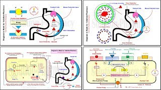 Antiulcer Drugs- Mechanism of Action for All Antiulcer Drugs in Powerful Animation