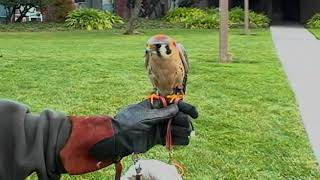 Falconry in the Modern World