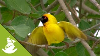 Ploceidae: The weaver bird
