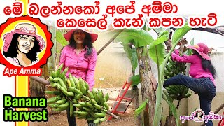 Banana Harvesting by Apé Amma