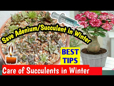Save your Succulents in Winter || Best Tips to Care of Adenium/ Cactus/ Succulents in Winter