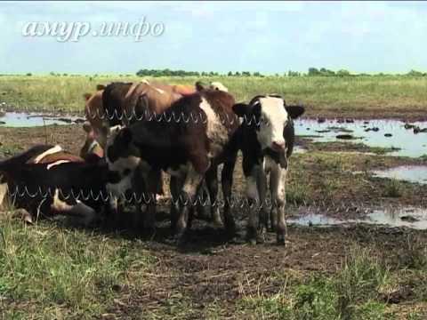 Амурский фермер огородил посевы электронитью, чтобы обезопасить их от набегов ...