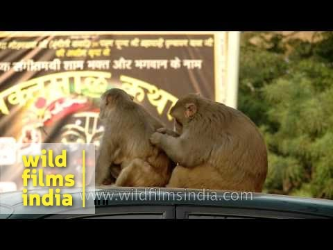 Mating : Monkey Man With His Woman Atop A Car! video