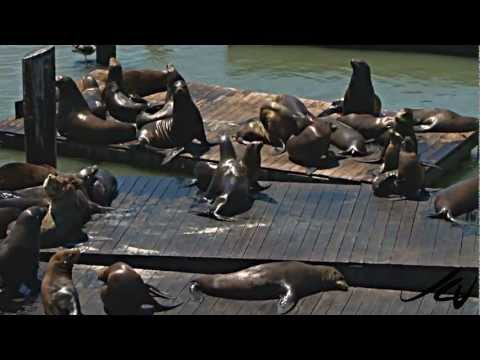 California Sea Lions - Pier 39 San Francisco - YouTube Travel