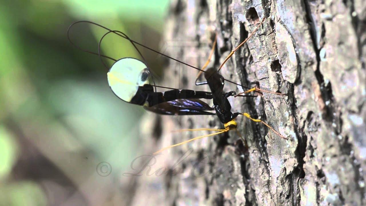 Giant Black Ichneumon Wasp Megarhyssa atrata ovipositing ... Black Ichneumon Wasp