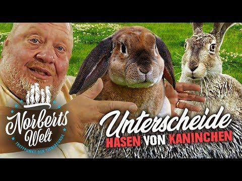 RAMMLERALARM! | Der GROßE Unterschied zwischen Hasen und Kaninchen!  | NORBERTS WELT
