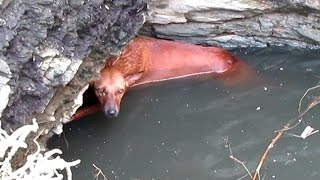 Rescue of exhausted dog clinging for life in a deep well