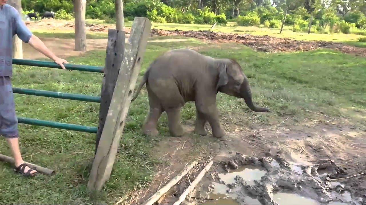 Sikítva menekült a kiselefánt, mert először látott kecskét - videó