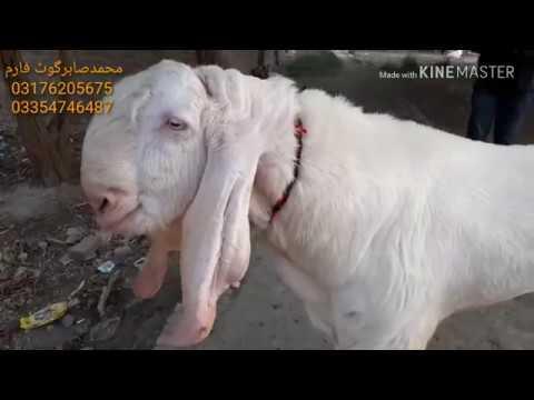 Rajan Puri Bada bakra Badi bakri Rajan Puri bilkul ek number breathe pure rajanpuri Sabir goat farm