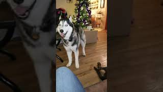 SASSY SIBERIAN HUSKY SLAP (wait for it)
