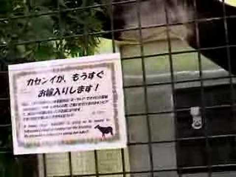 食事中のオカピ(上野動物園)