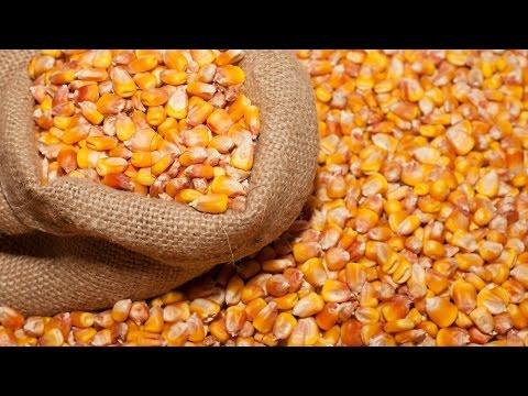 Кормление кур кукурузой.