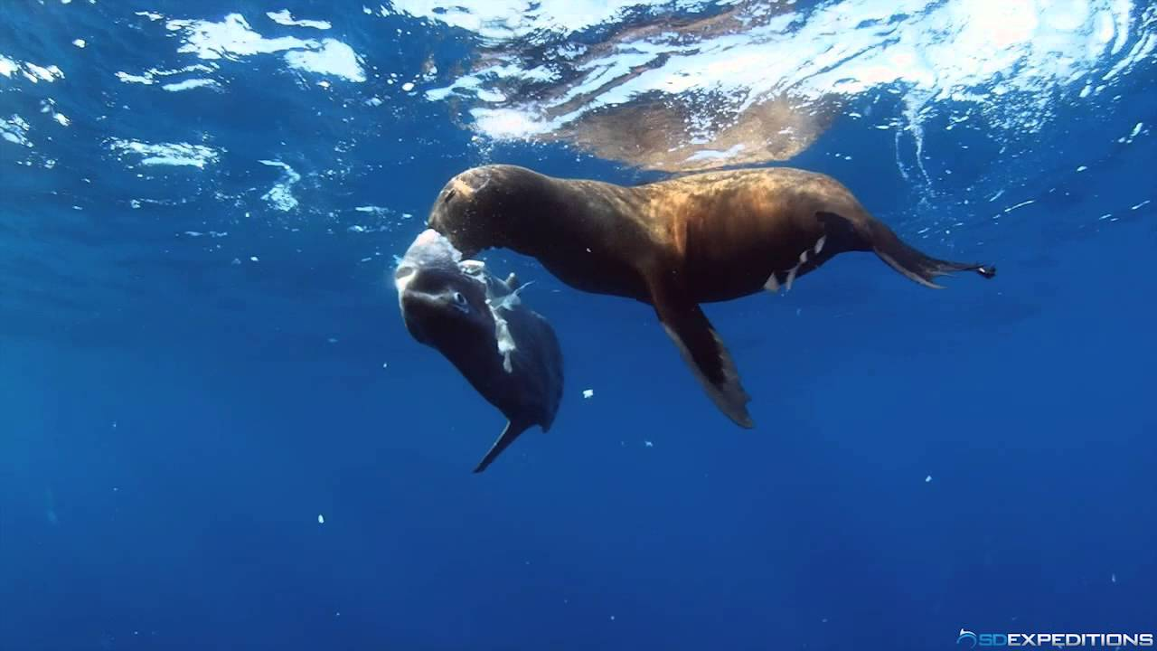 Sea lion eating a mola mola youtube for What do fish eat in the ocean