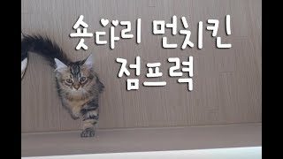 숏다리로 점프하는 모습이 귀여운 제이 고양이동영상