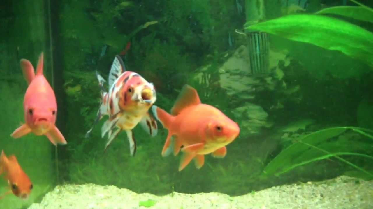 Aquarium mit goldfischen neuigkeiten youtube for Aquarium goldfische