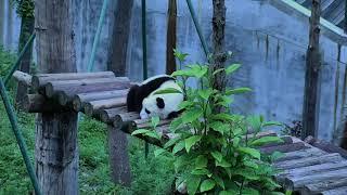 Happiness Village Baby Panda Garden 07-28-2018 23:30:49 - 00:30:49