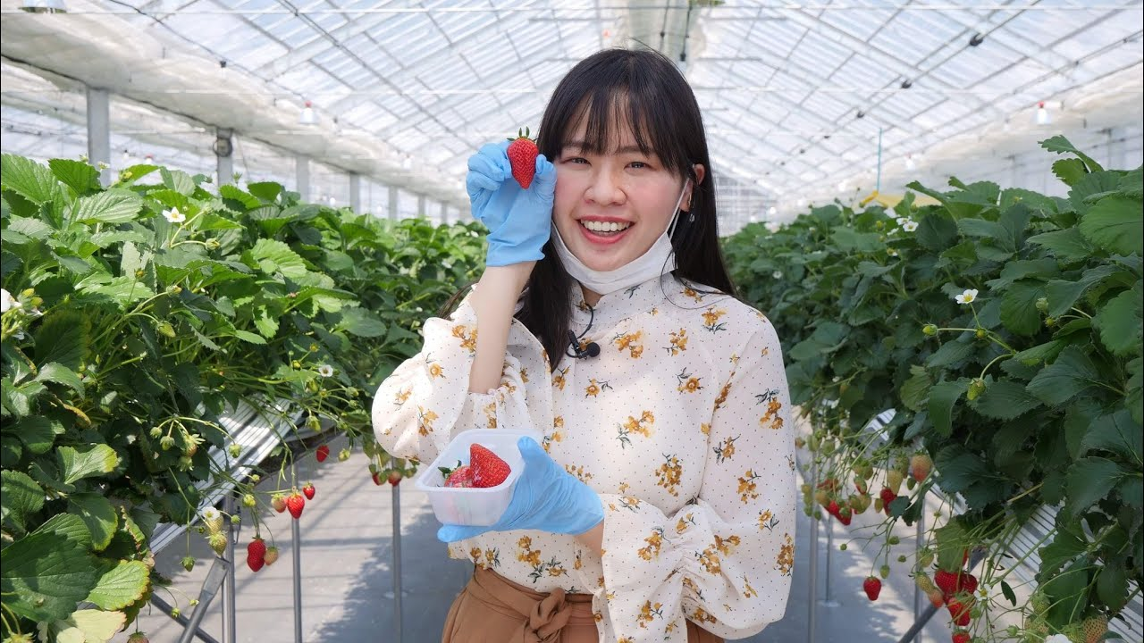 All You Can Eat Strawberry Picking at JR Fruits Park, Japan