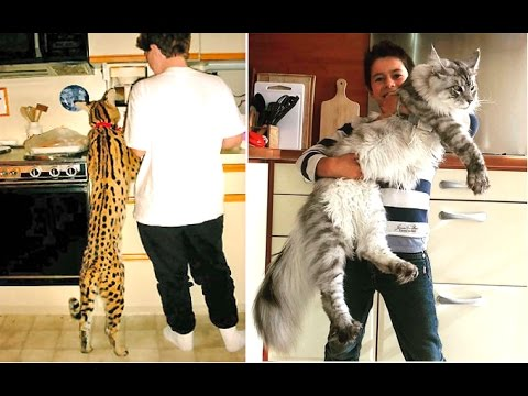 5 World's Largest Cat Breeds That Actually Exist