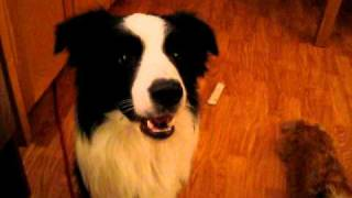 My border collie mumbling!
