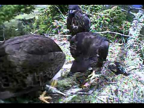 Humboldt Bay eagles,dad & mom both delivery fish,lot of squeeeing & mama feeds,6/19/13