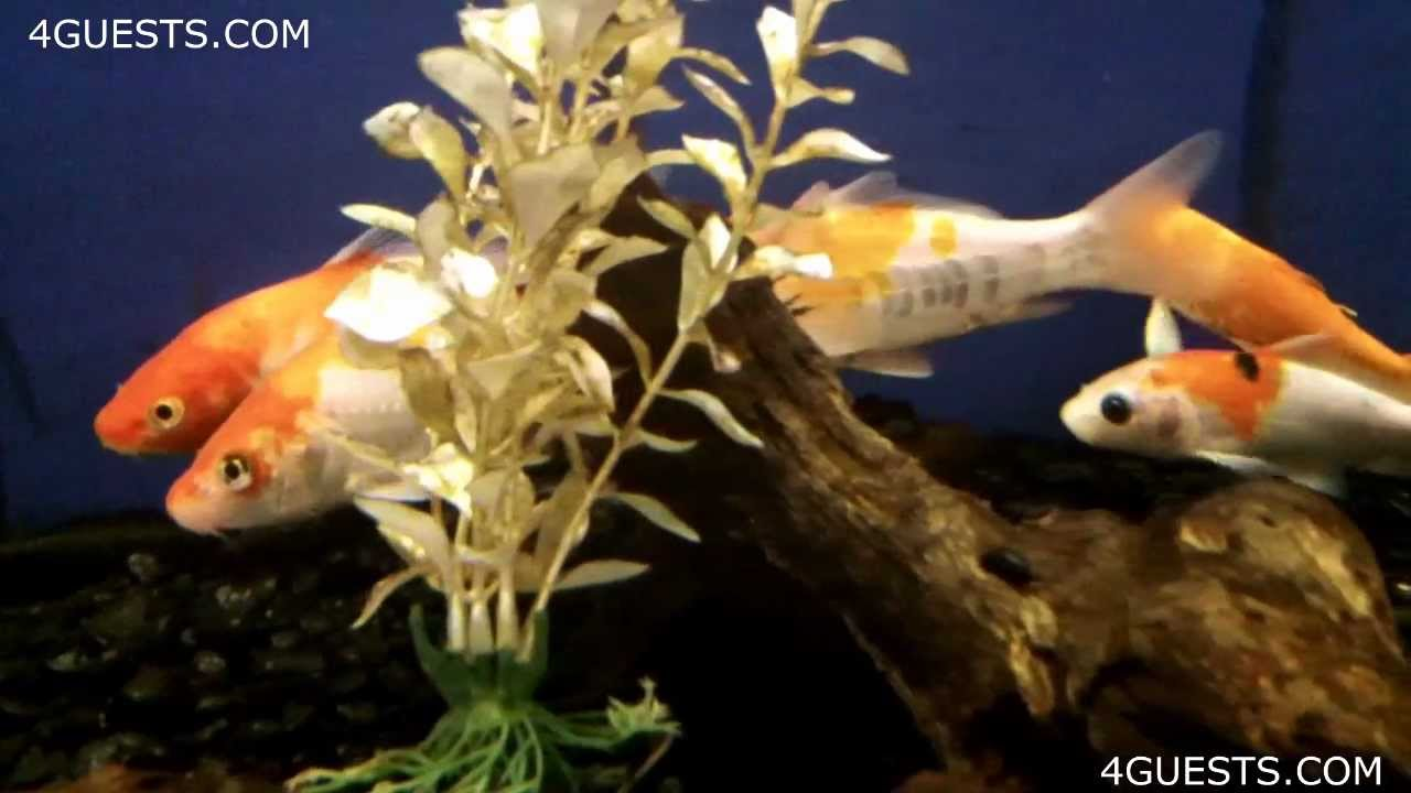 SMALL PET KOI FISH in TANK - YouTube