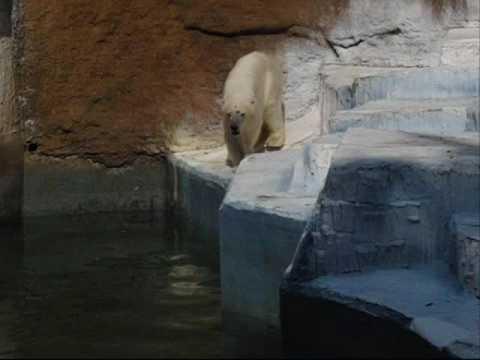 ゴーゴ ダイブ その1 (天王寺動物園のホッキョクグマ、ゴーゴ)