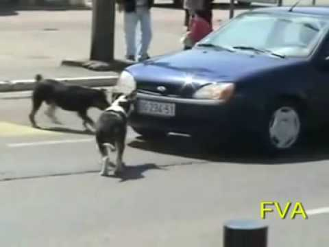 Dog Rips off license plate Video
