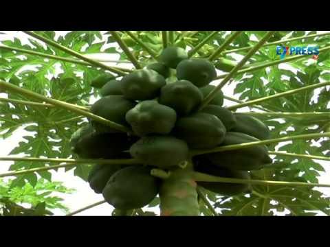 Success story of a Lady Farmer in Papaya and Orange Cultivation - Paadi Pantalu