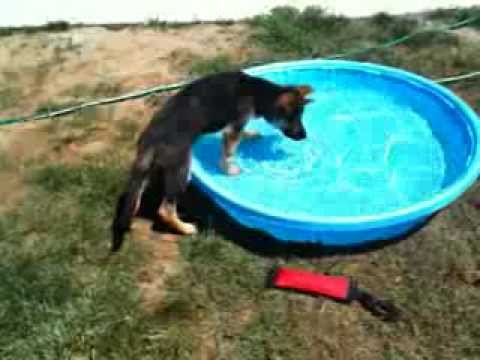 Puppy's first time in a pool. Dunder the German Shepherd
