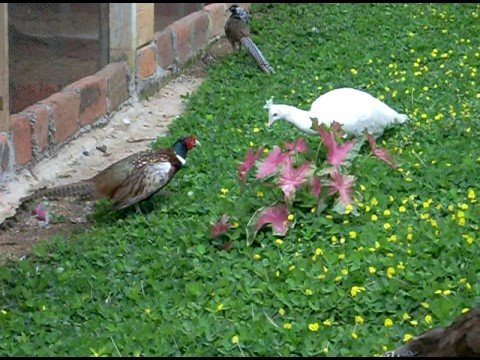 PAVO REAL BLANCO VS FAISAN COMUN