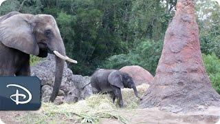 Baby Elephant Stella Born at Disney's Animal Kingdom