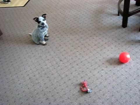 Buddy boy, our 9 week old Blue Heeler puppy Video