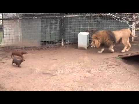 León juega con su manada de perros