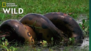 Anaconda Devours Huge Meal | Monster Snakes