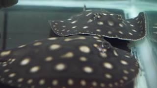 Houston Zoo's White Blotched River Stingray Babies