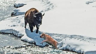 Mother Bison Support Her Children To Rescue Themselves From The Cold Water