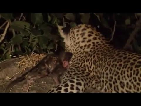 Leopardo Mata a una Madre Chimpance Y Adopta a su Hijo