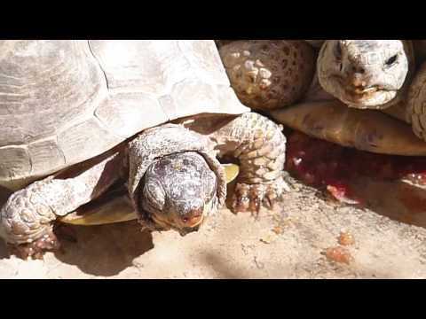 Russian tortoise and box turtles eat together.
