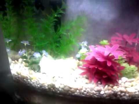 My betta fish in his 3 gallon marineland eclipse aquarium for Eclipse fish tank