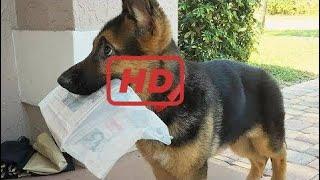 Funniest & Cutest German Shepherd Videos #8 - Compilation 2017