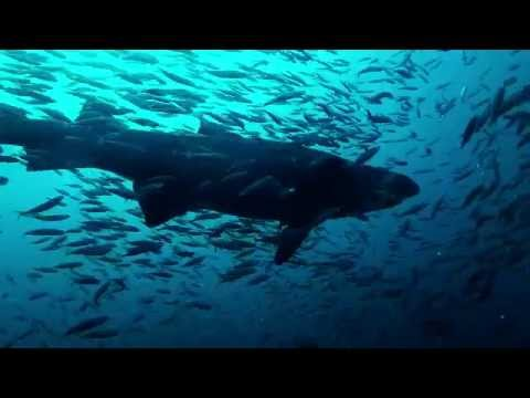 Sand Tiger Sharks of the Caribsea Wreck, North Carolina