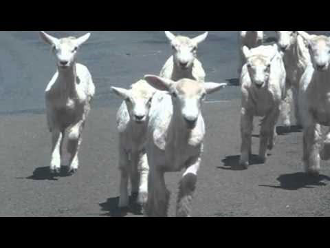ニュージーランドの羊の群れがハンパない