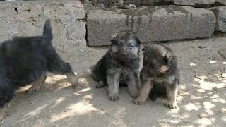 German Shepherd Gsd Puppies For Sale at ARM Dog Kennel