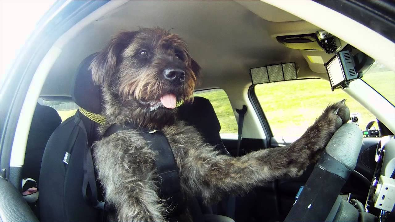 Meet Monty The World S First Driving Dog Youtube