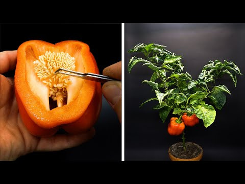 Growing Red Bell Pepper From Seed Time Lapse - 4 Months