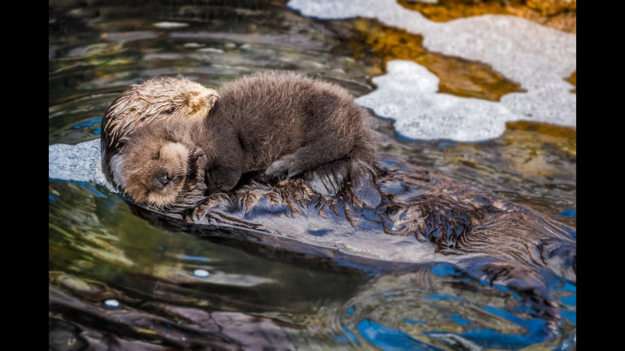 Your Heart Will Melt Watching Mommy Sea Otter Bond With Newly Born Pup
