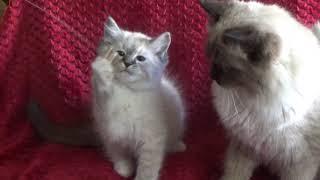 Blues, Seals, Lynx, Mink  Dumpling's kittens January 21 2019 - A Ragdoll To Love Cattery