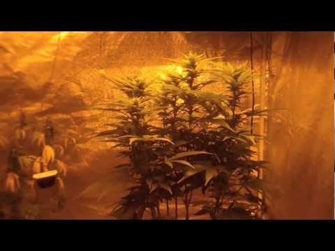 Grateful Tips- Flowering Tips #1 legal cannabis tent grow