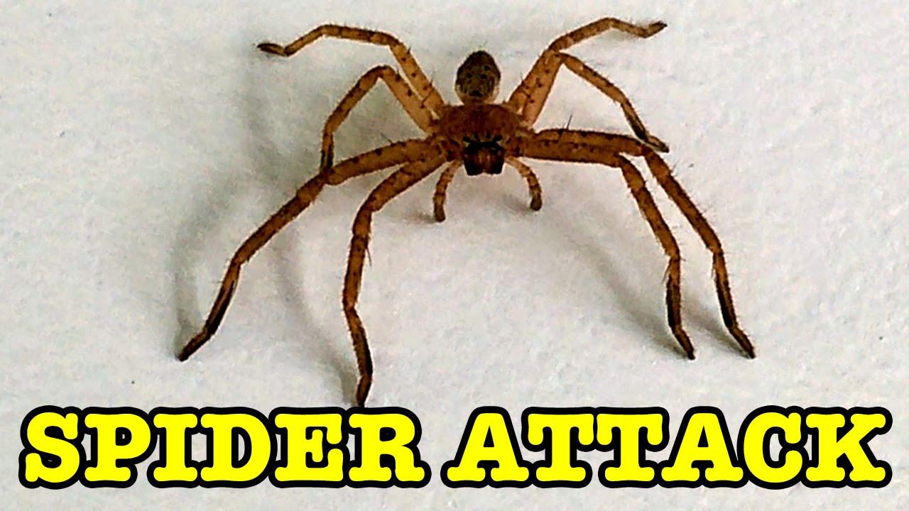 Huntsman Spider Size Spider Attack Warning ...